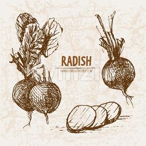 Digital vector detailed line art radish vegetable hand drawn retro illustration collection set. Thin artistic pencil outline. Vintage ink flat style, Stock Vector