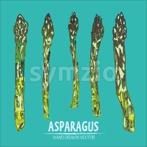 Digital vector detailed line art color asparagus vegetable hand drawn retro illustration collection set. Thin artistic pencil outline. Vintage ink Stock Vector