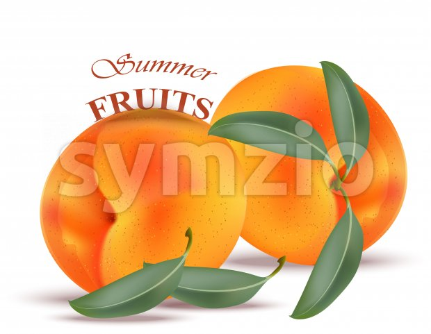 Apricot fruit Vectors realistic isolated on white Stock Vector