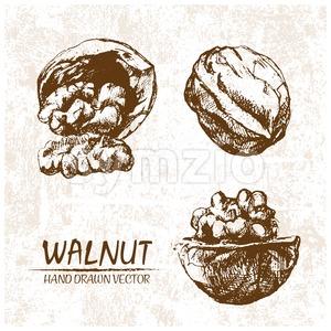 Digital vector walnut hand drawn illustration Stock Vector
