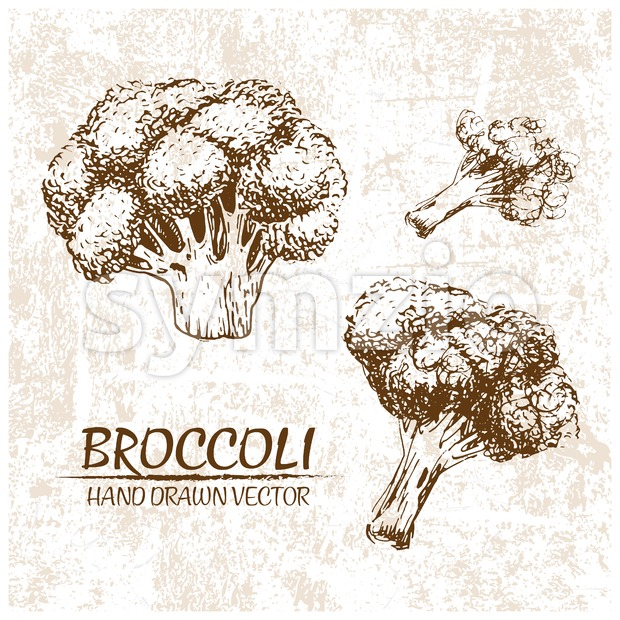 Digital vector broccoli hand drawn illustration Stock Vector