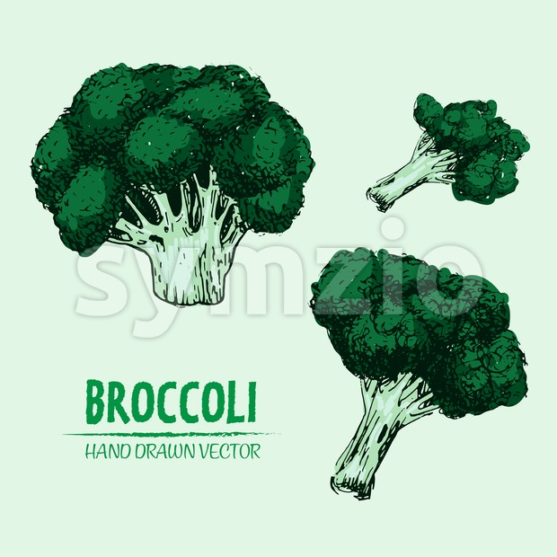 Digital vector detailed color broccoli hand drawn Stock Vector