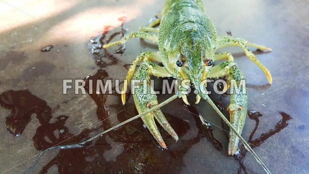 Alive green crab near a river in Moldova, close up - frimufilms.com