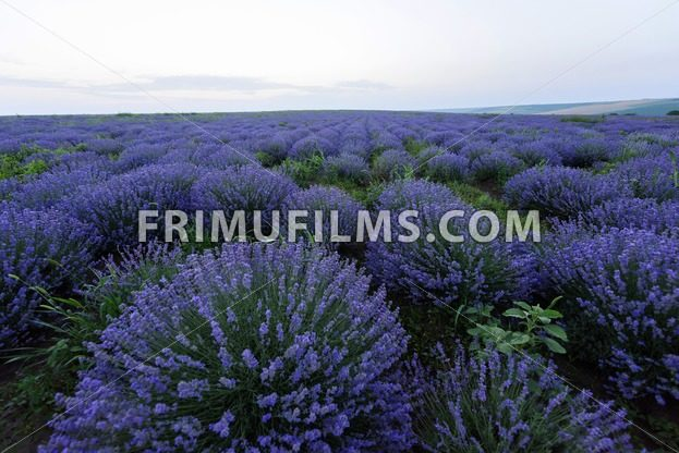 Photo of purple flowers in a lavender field in bloom at sunset, moldova - frimufilms.com