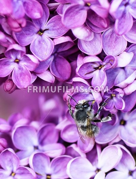 Macro image of spring lilac flower over soft abstract green background and a pollinating bee - frimufilms.com