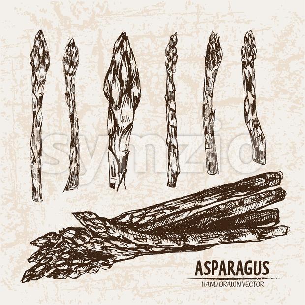 Digital vector detailed line art asparagus vegetable hand drawn retro illustration collection set. Thin artistic pencil outline. Vintage ink flat Stock Vector