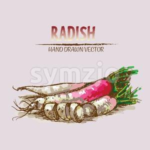 Digital vector detailed line art color radish vegetable hand drawn retro illustration collection set. Thin artistic pencil outline. Vintage ink flat Stock Vector