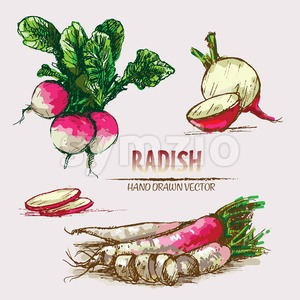 Digital vector detailed line art color radish vegetable hand drawn retro illustration collection set. Thin artistic pencil outline. Vintage ink flat Stock Vector