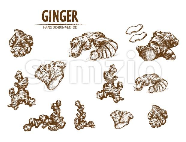 Digital vector detailed line art ginger root hand drawn retro illustration collection set. Thin artistic pencil outline. Vintage ink flat, engraved Stock Vector