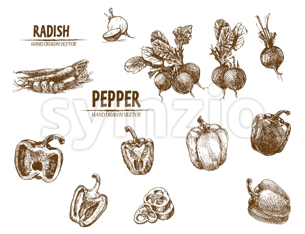 Digital vector detailed line art radish and pepper vegetable hand drawn retro illustration collection set. Thin artistic pencil outline. Vintage ink Stock Vector