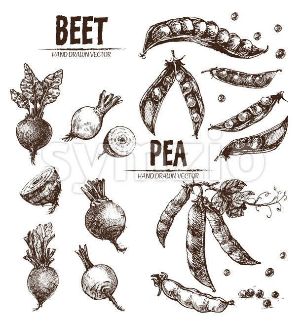 Digital vector detailed line art beet and pea vegetable hand drawn retro illustration collection set. Thin artistic pencil outline. Vintage ink flat Stock Vector