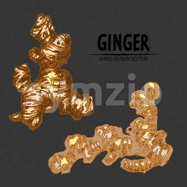 Digital color vector detailed line art golden fresh whole ginger hand drawn retro illustration set. Thin pencil artistic outline. Vintage ...