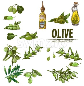 Digital color vector detailed line art fresh green olives on branches and oil bottle hand drawn retro illustration set. Thin pencil outline. Vintage Stock Vector